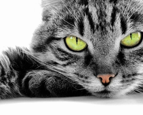 Vaccinations for Cats