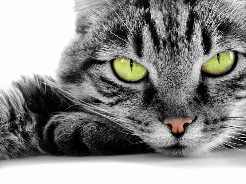 Auburn Animal Hospital recommendations for cat vaccinations