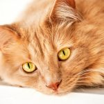 Heartworm in cats with Auburn Animal Hospital